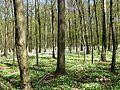 Łagiewniki Forrest in Spring 10.jpg