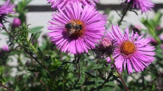 File:Бджола збирає пилок на айстрі.webm