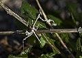 Богомол эмпуза - Empusa pennata - Conehead mantis - Богомолка - Haubenfangschrecke (10693508774).jpg