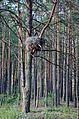 Гніздо чорного лелеки.jpg