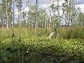 Масове цвітіння образків болотних.JPG