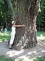 Один з дубів-велетнів.JPG