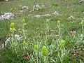 Орхидея и панаска детелина 04.jpg