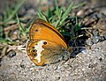 Сенница аркания (белополосый сатир) - Coenonympha arcania - Pearly Heath - Weiss bindige Wiesenvogelchen (30701967964).jpg