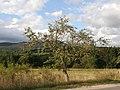 Ябълково дърво в с.Гърляно - panoramio.jpg