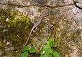 Ящерица Сочи.jpg