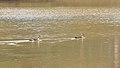 புள்ளி அலகு வாத்து - Indian spot billed duck - Anas poecilorhyncha.jpg