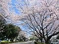 井頭公園 2012年4月 - panoramio.jpg