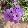 亞麻葉糖芥 Erysimum linifolium Bowles' Mauve (維也納大學植物園 Vienna University Botanical Garden).jpg