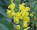 冬青葉小蘗 Berberis aquifolium -匈牙利布達佩斯 Budapest, Hungary- (9216080946).jpg