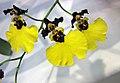 文心蘭屬 Oncidium insigne -香港沙田洋蘭展 Shatin Orchid Show, Hong Kong- (9216069152).jpg