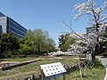 横十間川親水公園 - panoramio (1).jpg