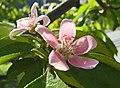 毛葉木瓜 Chaenomeles cathayensis -上海辰山植物園 Shanghai Chenshan Botanical Garden- (17101522380).jpg