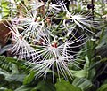 玉鳳花屬 Habenaria medusae -香港嘉道理農場 Kadoorie Farm, Hong Kong- (9669969337).jpg