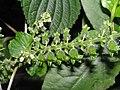 白紫蘇 Perilla frutescens -香港公園 Hong Kong Park- (9237375599).jpg