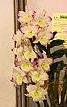石斛蘭 Dendrobium Lucky Girl x Angel Baby -台南國際蘭展 Taiwan International Orchid Show- (40112076784).jpg