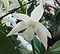 石斛蘭 Dendrobium White Grace 'Sato' -香港沙田洋蘭展 Shatin Orchid Show, Hong Kong- (9226996581).jpg