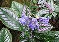紅背耳葉馬藍(波斯紅草) Perilepta dyeriana -香港公園 Hong Kong Park, Hong Kong- (39897970494).jpg