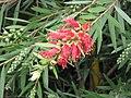 美花紅千層 Callistemon citrinus -香港花展 Hong Kong Flower Show- (9207627374).jpg