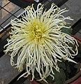 菊花-晚玉粉蓮 Chrysanthemum morifolium 'Late Jade Pink Lotus' -中山小欖菊花會 Xiaolan Chrysanthemum Show, China- (11962006826).jpg