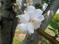 西府海棠 Malus x micromalus -上海辰山植物園 Shanghai Chenshan Botanical Garden- (17087200049).jpg