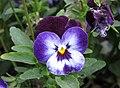 角堇 Viola Penny Denim Jump Up -上海國際花展 Shanghai International Flower Show- (17315278656).jpg
