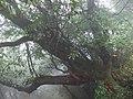 贵州-梵净山-千年十月怀胎树 - panoramio.jpg