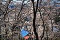 金刀比羅神社参道の桜並木 - panoramio.jpg