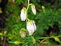 鹿蹄草 Pyrola rotundifolia -蘇格蘭 Spean Bridge, Scotland- (9240277298).jpg