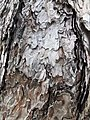 黑松 Pinus thunbergii 20211007185113 03.jpg