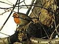 -2018-12-14 Robin (Erithacus rubecula), Trimingham, Norfolk (2).JPG
