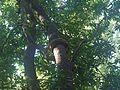 ... serpentine liana (4121539575).jpg