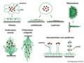 05 05 formas de crecimiento de liquenes, Lichenes (M. Piepenbring).png