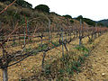 126 Vinyes vora el camí del Greny (Alella).JPG