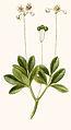 156 Chimaphila umbellata.jpg