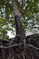17- Árvores do Lago do Moura em tempo de seca começam aparecer Reserva Biológica do Trombetas Pará - foto de Carolina de Melo Franco.JPG