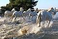 182A0351 chevaux de Camargue, en liberté dans les flots près des Saintes Maries de la Mer.jpg