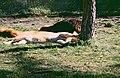 2002-04-28 5309 Gänserndorf Löwin.jpg