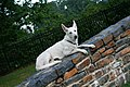 2008-07-24 White German Shepherd pup on Duke Gardens entrance wall.jpg