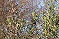 2009-12-18 (6) Amsel, Merl, Turdus merula.JPG