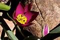 2010-365-97 Wildly Tulip-ed (4501408261).jpg