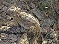 2010 Arizona horned lizard.jpg