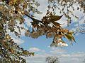 20120408Streuobstwiese Hockenheim6.jpg