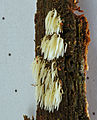 2013-02-09 Mucronella bresadolae (Quél.) Corner 308955.jpg