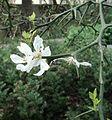 2014-04-03 - flower of Poncirus trifoliata - Pisa.JPG