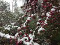 2014-05-06 09 31 14 Snow on a Crabapple in Lamoille, Nevada.JPG