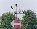 2014.07.27.-06-Neckar Mannheim-Feudenheim--Kormorane.jpg