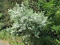 20140622Elaeagnus angustifolia2.jpg