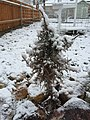 2015-04-08 07 26 54 Cultivated Utah Juniper sapling during a wet snowfall in Elko, Nevada.jpg