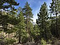 2015-04-30 16 33 06 View south down the Trail Canyon Trail in the Mount Charleston Wilderness, Nevada about 0.9 miles north of the trailhead.jpg